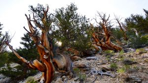 Ancient Bristlecone Pine Forest (California)
